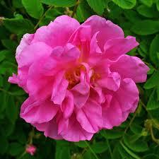 奧圖玫瑰花水