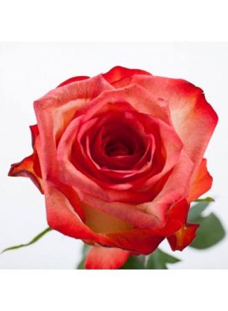 保加利亞玫瑰花水